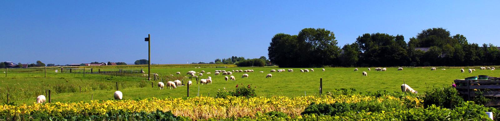 1600x390-schapen-hallum